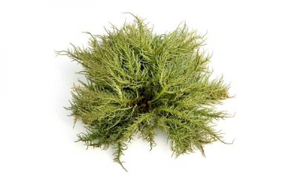 icelandic lichen